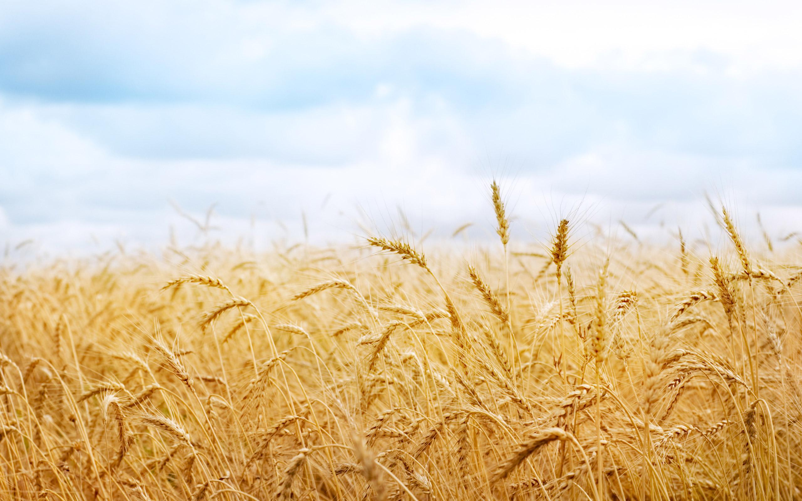 Картинки по запросу пшеничное поле картинки большой размер