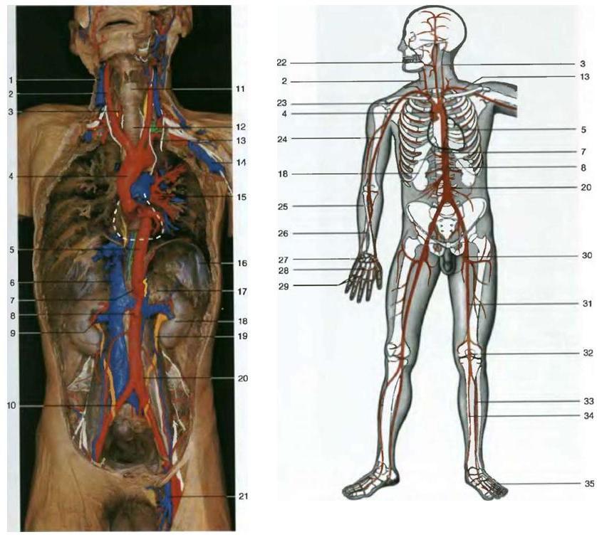 Главные артерии человеческого