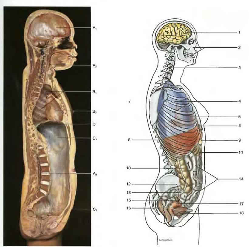 разрез человеческого тела