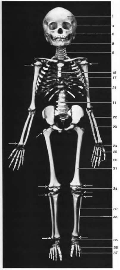 Строение скелета. Скелет пятилетнего ребенка