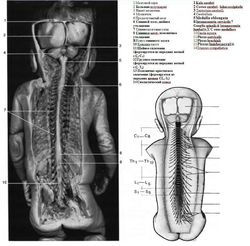 Общее строение нервной системы