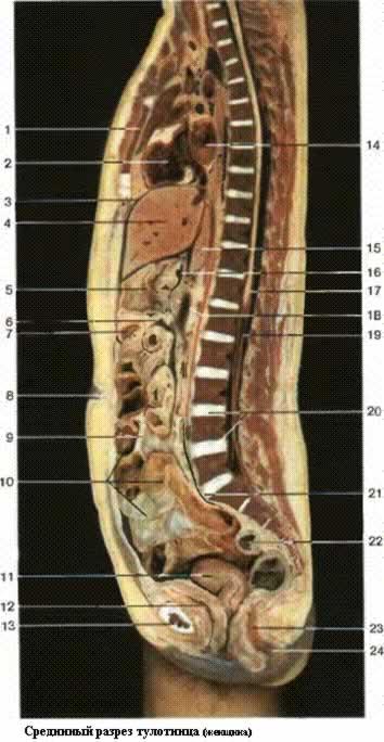 Общее строение человеческого тела. Срединный разрез