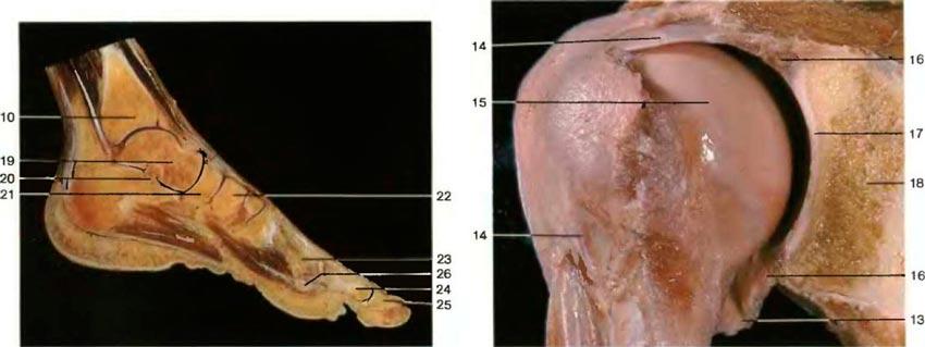 Атлас человека плечевой сустав фото комплекс упражнений лфк плечевой сустав