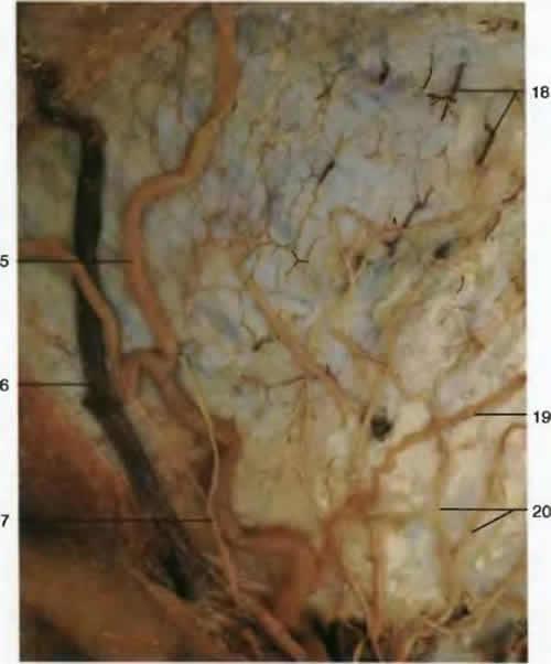 Поверхностные вены и нервы. Кровеносная система